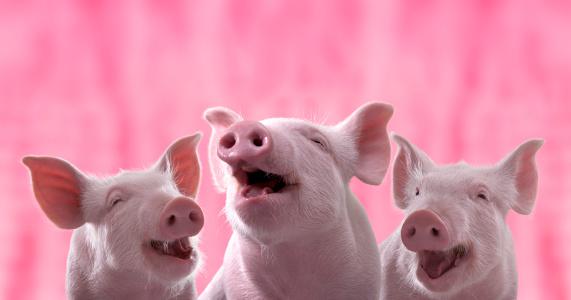 Из-за африканской чумы в России за год уничтожили 233 тыс. свиней