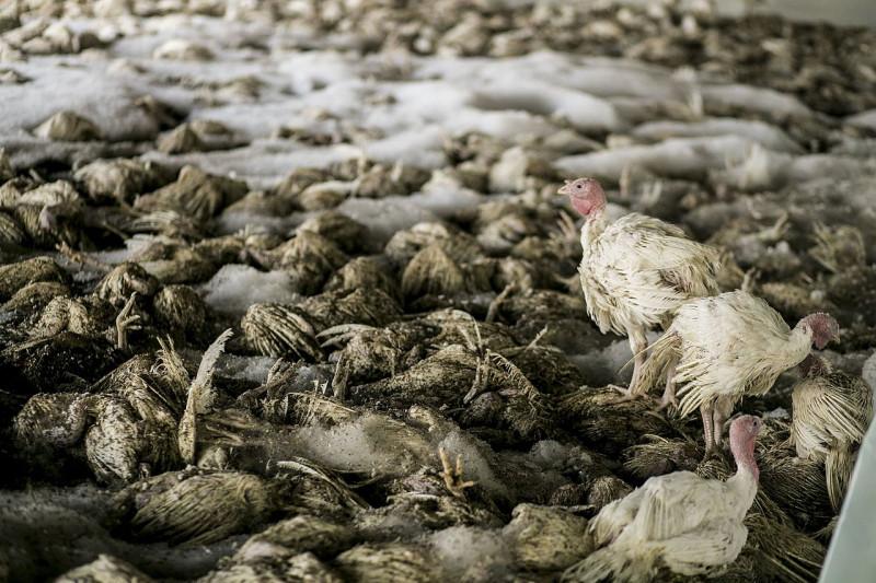 птичьего гриппа картинки для еще